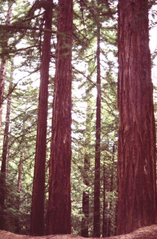/edit/images_hr/redwoods_californ_00.jpg